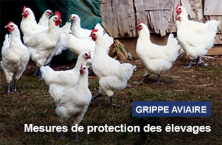 Influenza-aviaire-hautement-pathogene-H5N8-risque-eleve-sur-l-ensemble-du-territoire-metropolitain_large